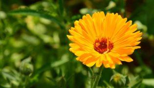Calendula – Schutz von Anfang an
